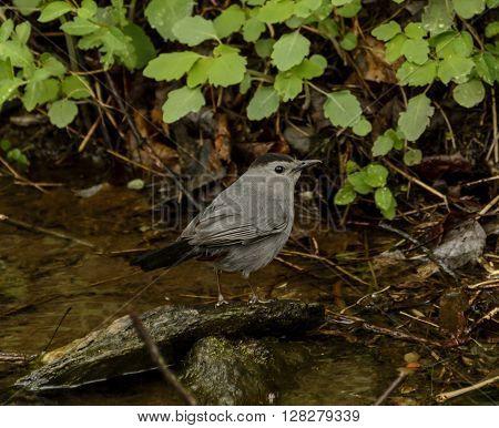 A Gray Catbird, (Dumetella carolinensis) foraging for food along a stream in York County Pennsylvania, USA.