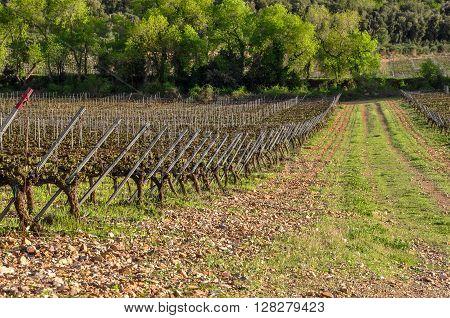 Typical mediterranean vineyard Catalonia (Spain). Sunny day.