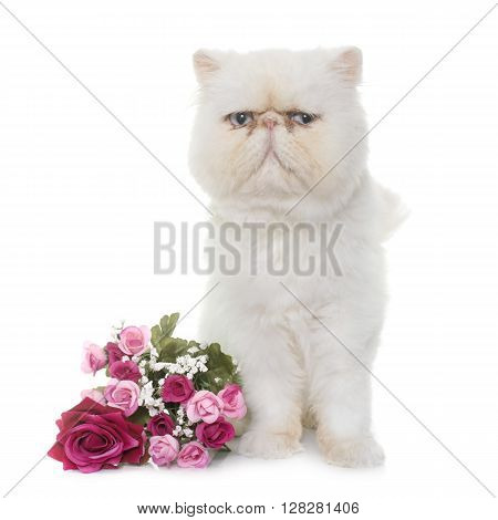 white persian cat in front of white background
