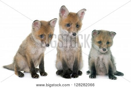 three fox cub in front of white background
