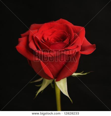 Single long-stemmed red rose against black background.