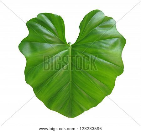 green taro leaf isolated on white background
