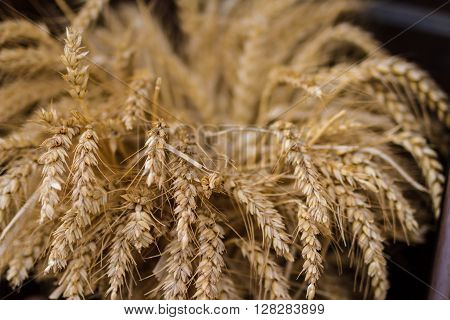 Wheat stems ready for harvest field of wheat. Ecological wheat for bread production. ** Note: Shallow depth of field