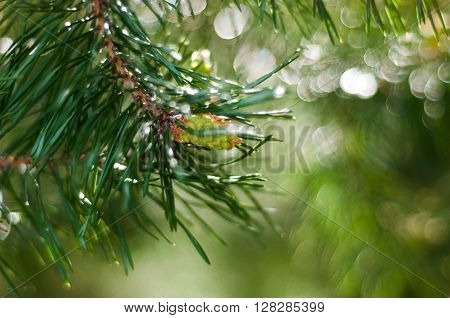 Closeup of new green fir tree needles growing against blurred background with selective focus. Young green pine branches. Spruce branches in the wood. Young pine branch in spring.