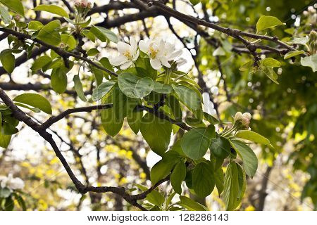 A photo of a branch of a plum tree with green leaves and white blossoms with new buds against a blurred natural background