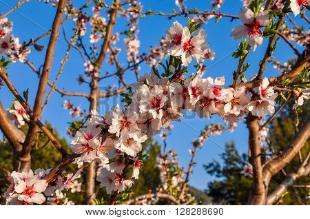 Almond Tree In Full Bloom.