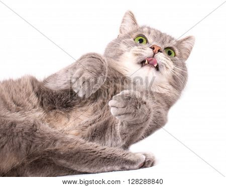 The gray cat lies on a back and licks lips. A white background a close up small depth of sharpness focus on a muzzle