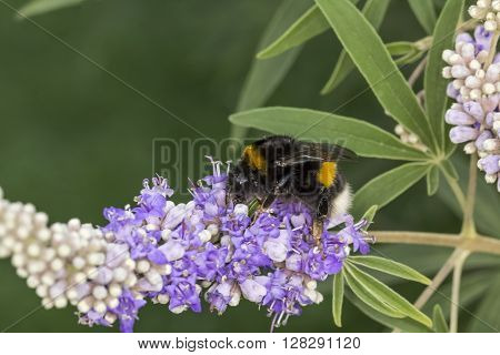 Bombus terrestris, Buff-tailed bumblebee, Large earth bumblebee on Vitex agnus-castus, Chaste tree, Chasteberry, Abraham's Balm, Monk's pepper