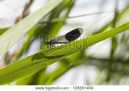 Calopteryx splendens, Banded Demoiselle, male dragonfly from Lower Saxony, Germany