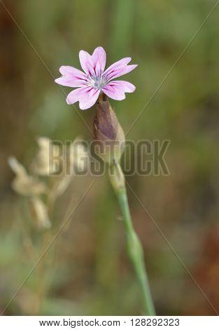 Hairy-pink - Petrorhagia dubia syn. Kohlrauschia velutina