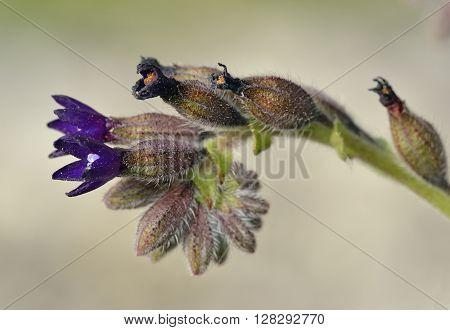 Undulated Alkanet - Anchusa undulata Dark Blue Flower from Cyprus