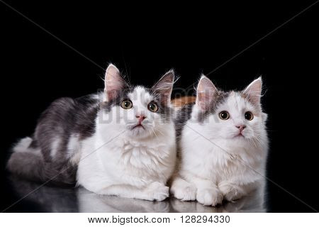 Two Young Three-colored Cats