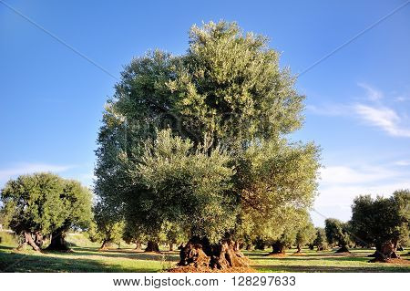 ancient secular olive tree in the countryside of Apulia southern Italy