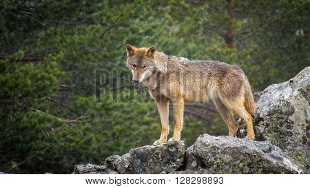 Whole wet Canis Lupus Signatus over rocks looking at the horizon, side view, raining