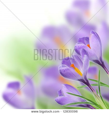 Spring crocusses blossoms