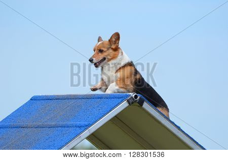 Pembroke Welsh Corgi Climbing an A-Frame at a Dog Agility Trial