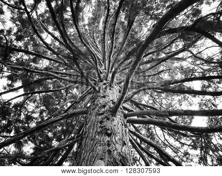 Large sequoia tree with giant branches seen from below dramatic black and white