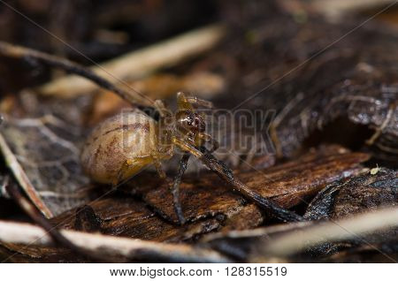 Clubiona species female spider. Spider in the family Clubionidae amongst leaf litter on wasteground in the UK