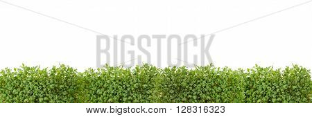 green cress leafs against white as background