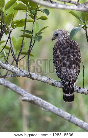 Everglades Red Shouldered Hawk Perched on Branch