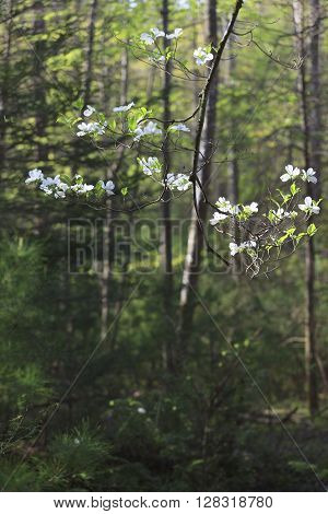 White dogwood tree in bloom announces arrival of Spring at the edge of the forest