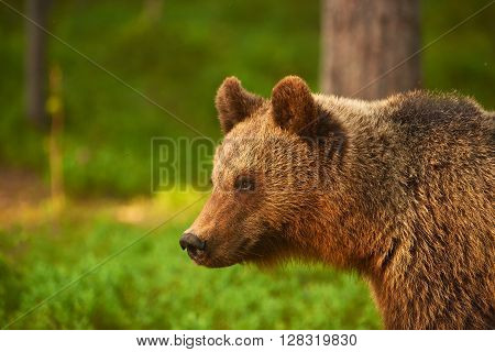 Portrait of a big brown bear photographed in profile