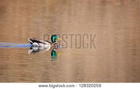 A mallard duck swimming in pond on spring day.