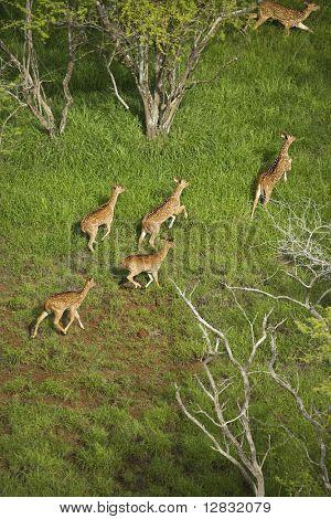 Aerial view of herd of running axis deer in Maui, Hawaii.