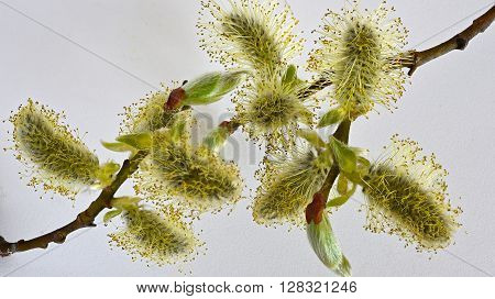 willow branches on a white background. Flowers willow