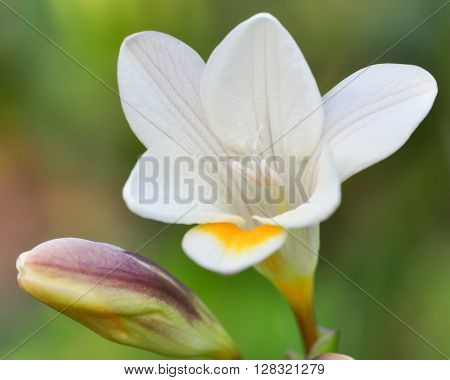 A bright white and yellow Freesia flower, in closeup