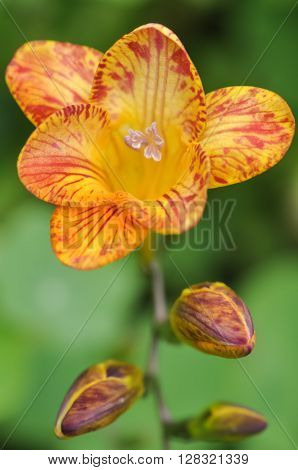 A bright yellow and red Freesia flower in closeup