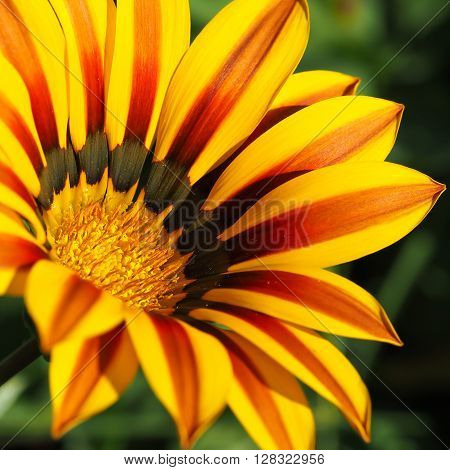 Bright yellow and red-brown Gazania flower, in closeup