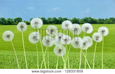 dandelion flower on summer green  field background, many closeup object