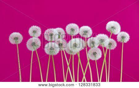 dandelion flower on pink color background, many closeup object