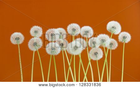 dandelion flower on brown color background, many closeup object