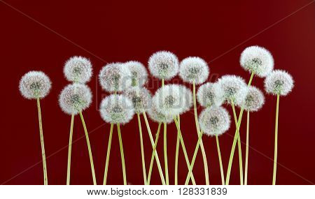 dandelion flower on dark red color background, many closeup object