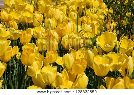 Tulips in the Spring Season in USA