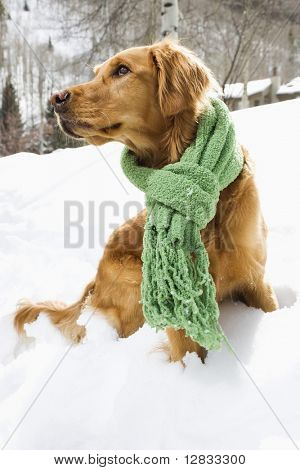 Side view of Golden Retriever sitting in snow wearing green scarf.