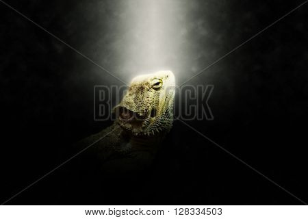 Bright halo around single iguana head looking upward over dark background with copy space