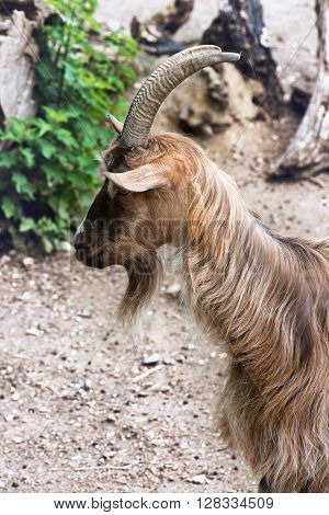 Close up side view of the head of a brown shaggy goat with horns and a beard