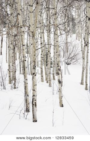 Forest of leafless Aspen trees in winter with snow on ground.