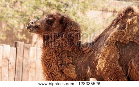 Two humped Bactrain camel stands in the desert