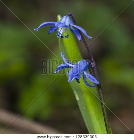 Siberian squill scilla siberica flowers macro selective focus shallow DOF