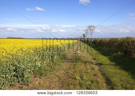 a hawthorn hedgerow beside a bright yellow flowering canola field in the yorkshire wolds england under a blue cloudy sky in springtime