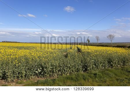 a yellow flowering canola field with a view of the vale of york under a blue sky in springtime