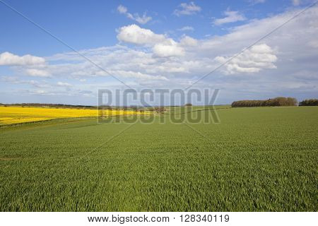 a scenic view of agricultural land in the yorkshire wolds england with wheat and canola crops under a blue cloudy sky in springtime