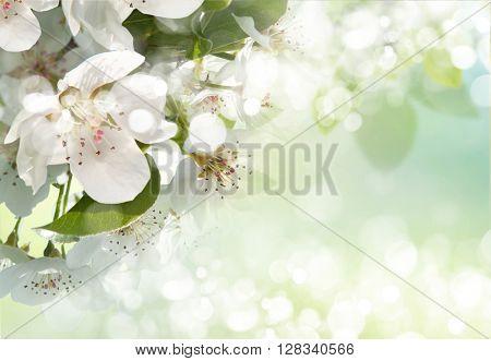 apple blossom close-up. White flowers
