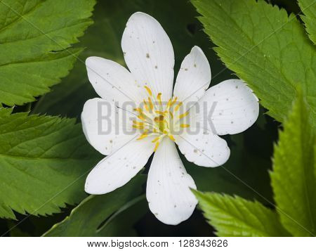 white anemone flower in weed macro selective focus shallow DOF