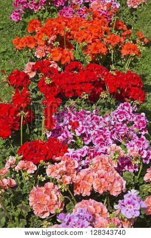 A display of red, pink and purple Pelargonium flowers.
