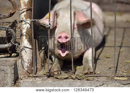 Picture Of Piglet Asleep Yawning Behind Metal Cage Tied With Wire At A Farm In A Sunny Summer Day. F